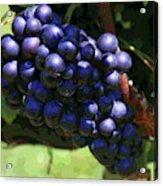 Blue Grape Bunches 5 Acrylic Print