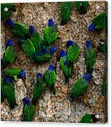 Blue-headed And Barrabands Parrots Acrylic Print