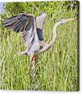 Blue Heron On The Rise Acrylic Print