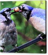 Blue Jays Wooing 2 Acrylic Print