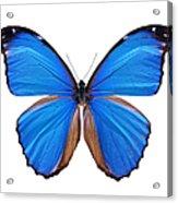 Blue Morpho Butterfly - Large Acrylic Print