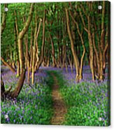 Bluebells In Sussex Acrylic Print