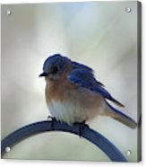 Bluebird Fluff Acrylic Print
