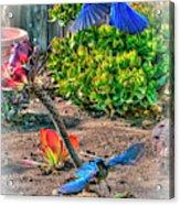Bluejays Landing San Pedro Acrylic Print