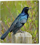 Boat Tailed Grackle Acrylic Print