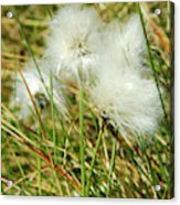 Bog Cotton On The Moor Acrylic Print