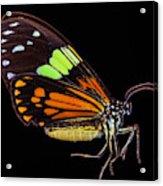 Boisduval's Tiger Moth Acrylic Print