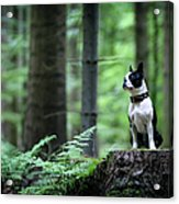 Boston Terrier Sitting On A Stub In The Acrylic Print
