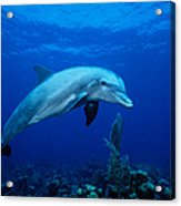 Bottlenose Dolphin,tursiops Acrylic Print
