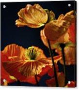 Bright Orange Poppies Acrylic Print
