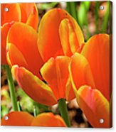 Bright Orange Tulips Acrylic Print