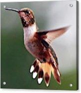 Broad Tailed Hummingbird Acrylic Print