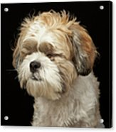 Brown And White Shih Tzu With Eyes Acrylic Print