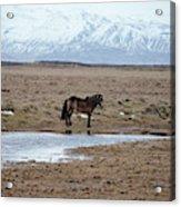 Brown Icelandic Horse In Profile Near Stream Acrylic Print