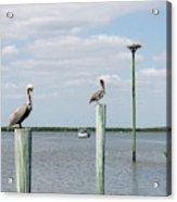 Brown Pelicans On Pilings And An Osprey Nest In The Tarpon Bay A Acrylic Print