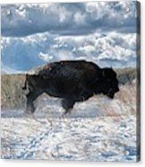 Buffalo Charge.  Bison Running, Ground Shaking When They Trampled Through Arsenal Wildlife Refuge Acrylic Print