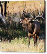 Bull Elk 3068 Acrylic Print