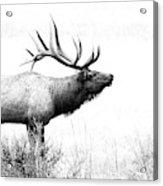 Bull Elk In Rut Acrylic Print