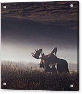 Bull Moose Alces Alces Walking Through Acrylic Print