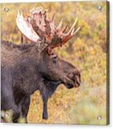 Bull Moose In Fall Colors Acrylic Print