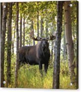 Bull Moose In Fall Forest Acrylic Print