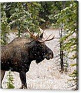 Bull Moose In Snow Fall Acrylic Print