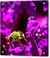 Bumble Bee On A Rhodedendron  Acrylic Print