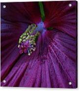 Burgundy Hibiscus Acrylic Print