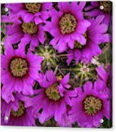 Burst Of Fuchsia Cactus Flowers Acrylic Print