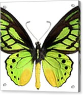 Butterfly Lepidoptera With Green, Black Acrylic Print