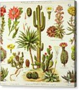 Cactus Engraving 1895 Acrylic Print