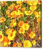 California Poppies - 2019 #3 Acrylic Print