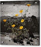 California Poppy Trying Acrylic Print