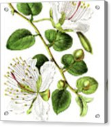 Caper Specie Engraving Illustration Acrylic Print