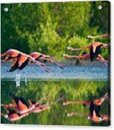 Caribbean Flamingos Flying Over Water Acrylic Print