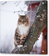 Cat Outdoors In The Winter Is On The Acrylic Print