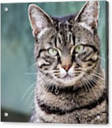 Cat Posing For The Camera. Acrylic Print
