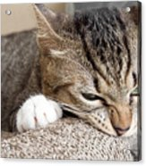 Cat Scratching And Biting.claws On The Acrylic Print