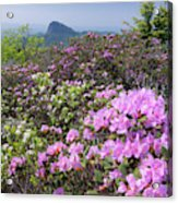 Catawba Rhododendron Table Rock  Acrylic Print
