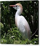 Cattle Egret With Breeding Feathers Acrylic Print