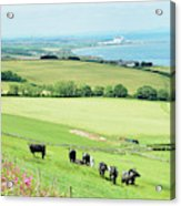 cattle in field and east coast Berwickshire Acrylic Print