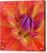 Centre Of Brightly Coloured Dahlia Acrylic Print