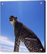 Cheetah Acinonyx Jubatus, Against Blue Acrylic Print