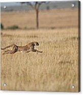 Cheetah Acinonyx Jubatus  Female At Acrylic Print