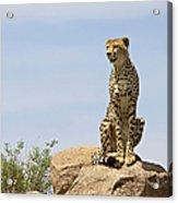 Cheetah Acinonyx Jubatus Sitting On A Acrylic Print