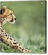 Cheetah Acinonyx Jubatus Stretching Acrylic Print
