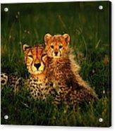 Cheetah Acinonyx Jubatus With Cubs In Acrylic Print