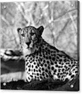 Cheetah Black And White 2  Acrylic Print
