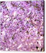Cherry Blossom Flowers Acrylic Print