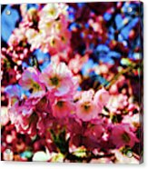 Cherry Blossoms 1 Acrylic Print